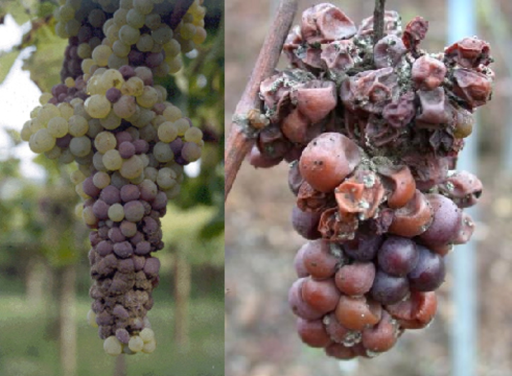 Botrytis ou pourriture grise (Botrytis cinerea Pers.)