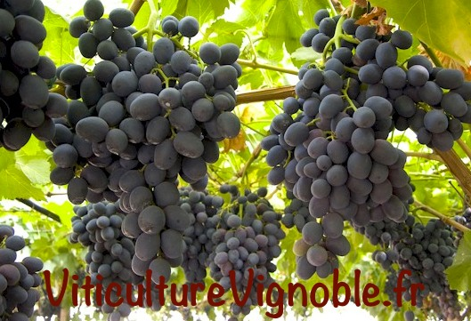 big perlon_viticulutrevignoble