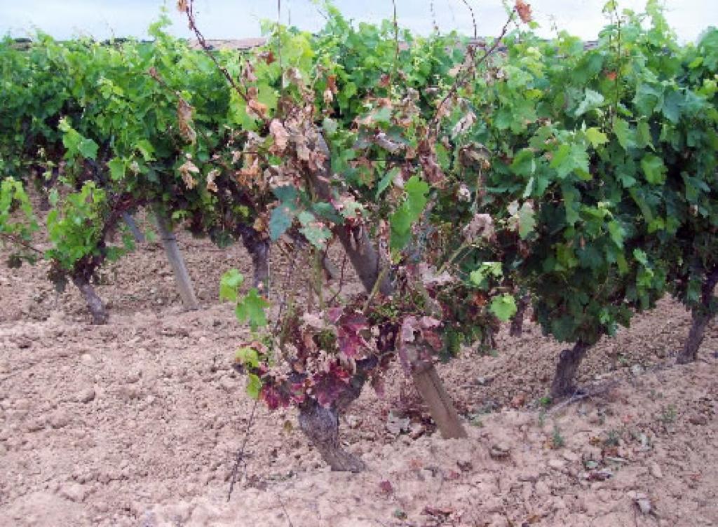 Ravageurs et maladies de la vigne - Parasite de la vigne ...