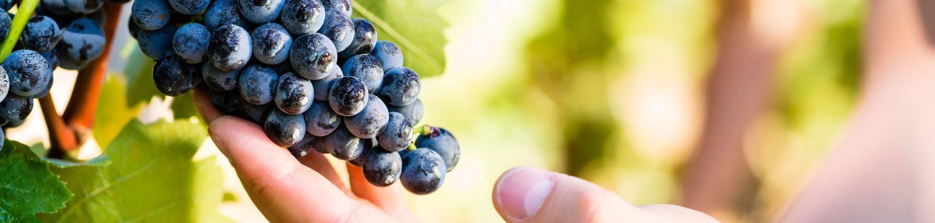 ▷ Viticulture et Vignoble ® Le blog du Viticulteur